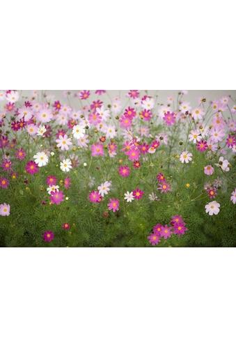 Papermoon Fototapete »Cosmos Flowers« kaufen