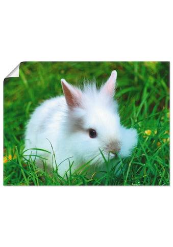 Artland Wandbild »Weißes Zwergkaninchen Baby« kaufen