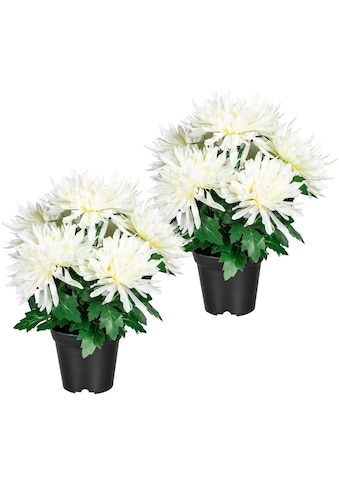 Home affaire Künstliche Zimmerpflanze »Igraine«, 2er Set kaufen