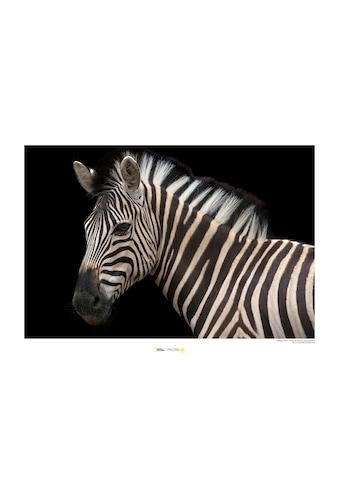 KOMAR Wanddekoration »Damara Zebra« kaufen