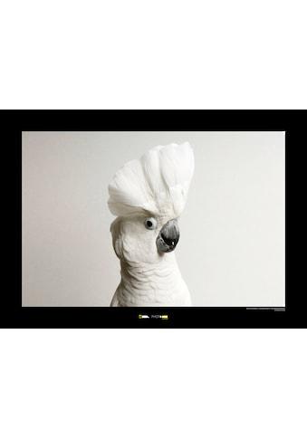 KOMAR Wanddekoration »White Cockatoo« kaufen