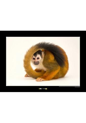KOMAR Wanddekoration »Central American Squirrel Monkey« kaufen