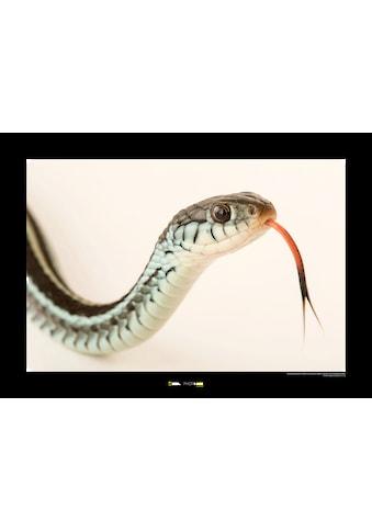 KOMAR Wanddekoration »Bluestripe Garter Snake« kaufen