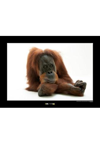 KOMAR Wanddekoration »Sumatran Orangutan« kaufen