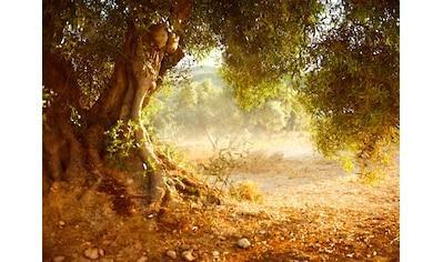 Papermoon Fototapete »Old Olive Tree« kaufen