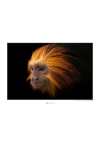KOMAR Wanddekoration »Golden - headed Lion Tamarin« kaufen