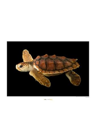 KOMAR Wanddekoration »Loggerhead Sea Turtle« kaufen