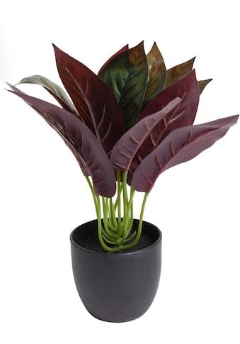 Botanic-Haus Künstliche Zimmerpflanze »Calathea« kaufen