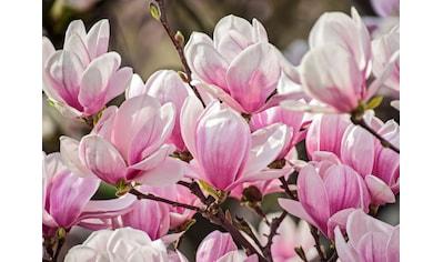 Papermoon Fototapete »Magnolia Flowers« kaufen