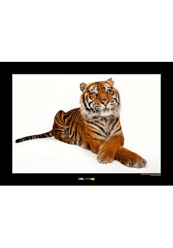 KOMAR Wanddekoration »Sumatran Tiger« kaufen