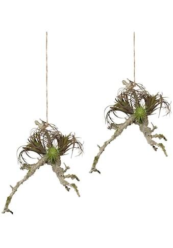 Creativ green Kunstpflanze »Hängeast mit Tillandsie« kaufen