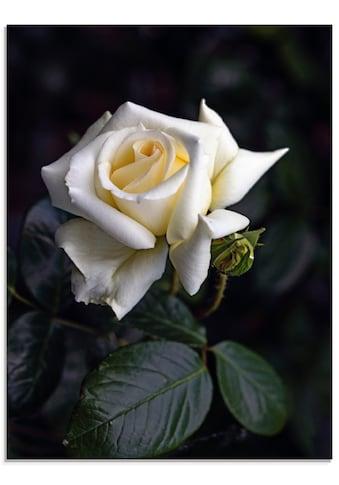 Artland Glasbild »Weiß-gelbe Rose«, Blumen, (1 St.) kaufen