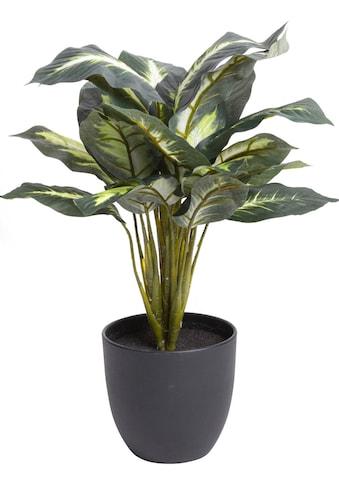 Botanic-Haus Künstliche Zimmerpflanze »Dieffenbachia« kaufen