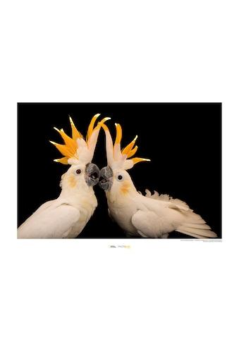 KOMAR Wanddekoration »Citron - crested Cockatoo« kaufen