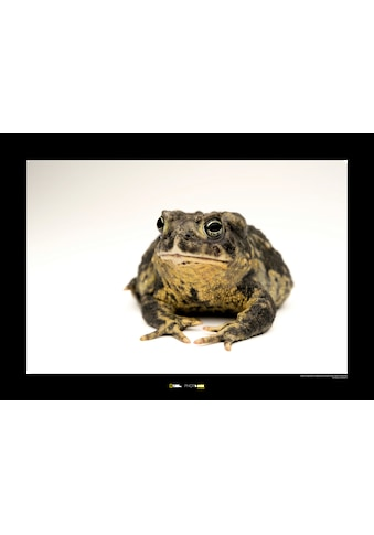 KOMAR Wanddekoration »Wyoming Toad« kaufen