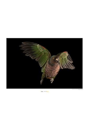 KOMAR Wanddekoration »Imperial Parrot« kaufen