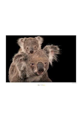 KOMAR Wanddekoration »Koala Bear« kaufen