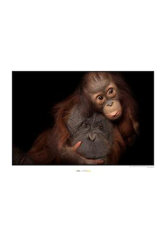 KOMAR Wanddekoration »Bornean Orangutan« kaufen