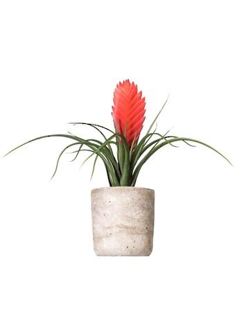 Creativ green Kunstpflanze »Tillandsie Soledo« kaufen