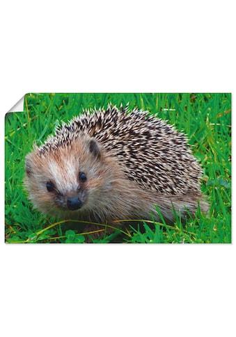 Artland Wandbild »Igel Blick«, Wildtiere, (1 St.), in vielen Größen & Produktarten -... kaufen