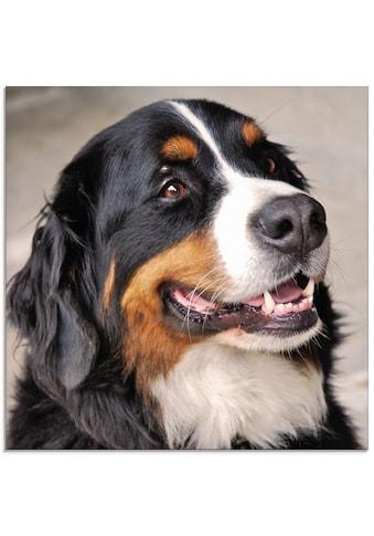 Artland Glasbild »Berner Sennenhund«, Haustiere, (1 St.) kaufen