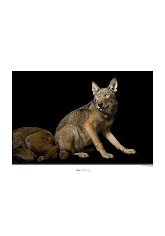 KOMAR Wanddekoration »Red Wolf« kaufen