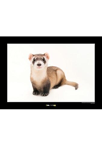KOMAR Wanddekoration »Black - footed Ferret« kaufen