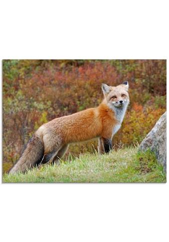 Artland Glasbild »Fuchs I«, Wildtiere, (1 St.) kaufen