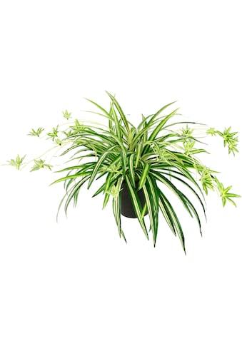 I.GE.A. Kunstpflanze »Wasserlilie«, Im Topf kaufen